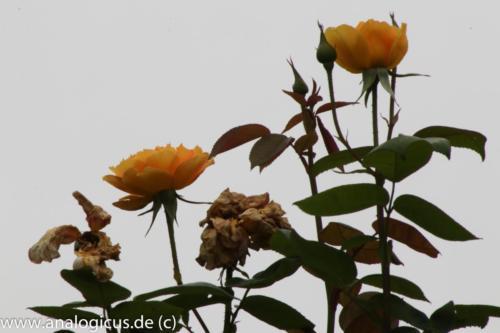 albinar f16-8176
