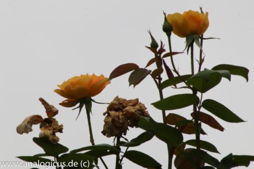 albinar f22-8177