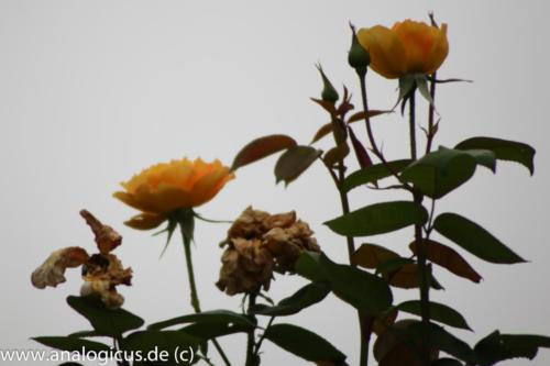 albinar f6.3-8174